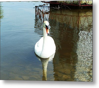 White North American Mute Swan Metal Print by Alex Roussinov