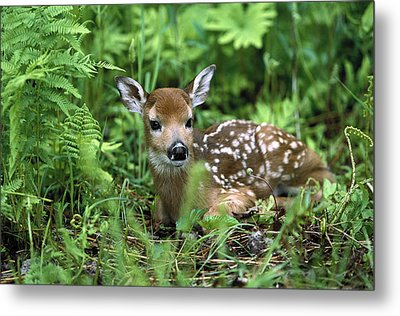 White-tailed Deer Odocoileus Metal Print by Konrad Wothe