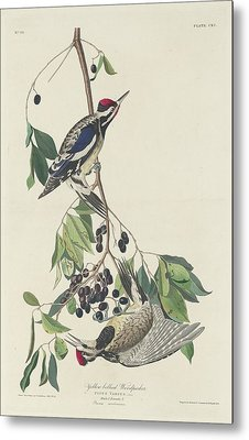 Yellow-bellied Woodpecker Metal Print by Rob Dreyer