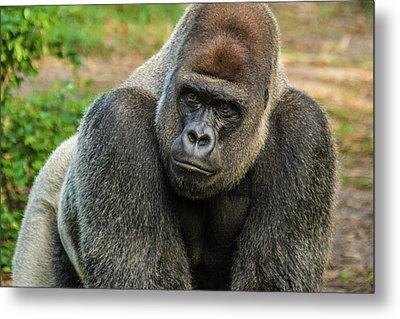 10898 Gorilla Metal Print