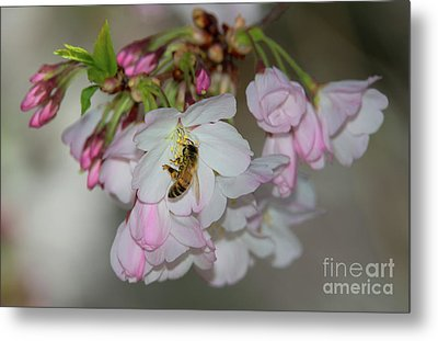 Silicon Valley Cherry Blossoms Metal Print by Glenn Franco Simmons