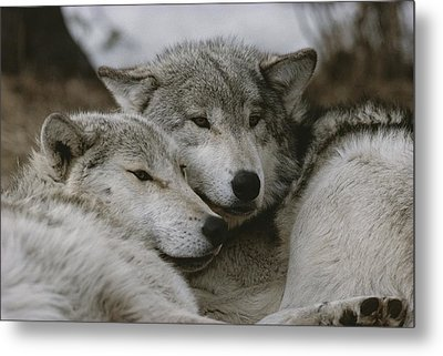 A Couple Of Gray Wolves, Canis Lupus Metal Print by Jim And Jamie Dutcher