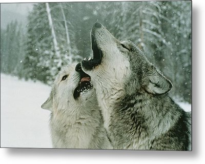 An Alpha Male Gray Wolf, Canis Lupus Metal Print by Jim And Jamie Dutcher