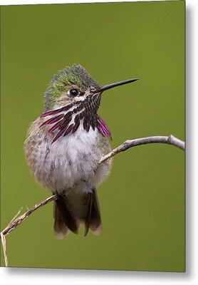 Calliope Hummingbird Metal Print