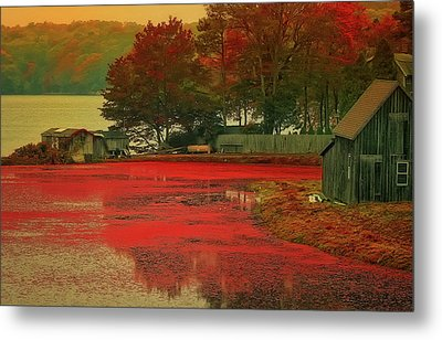 Cranberry Farm Metal Print by Gina Cormier