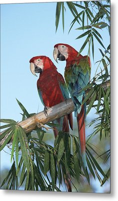 Red And Green Macaw Ara Chloroptera Metal Print by Konrad Wothe