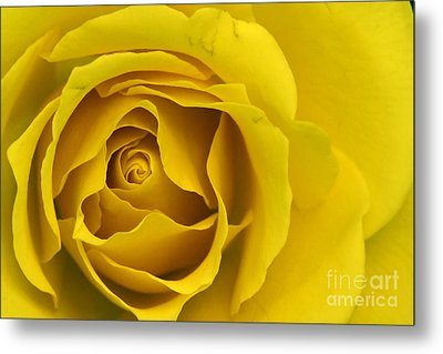 Yellow Rose Metal Print by Adrian LaRoque