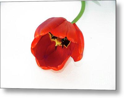 Red Tulip Metal Print by Elvira Ladocki