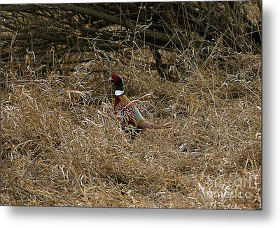 Ring-necked Rooster Pheasant  Metal Print