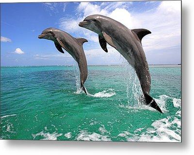 Delfin (grosser Tuemmler) Metal Print by Tier Und Naturfotografie J und C Sohns