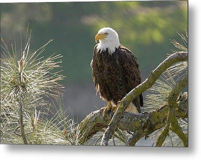 Bald Eagle Metal Print by Doug Herr