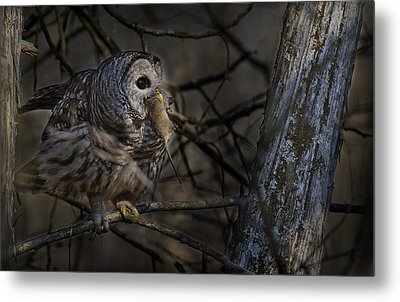 Metal Print featuring the photograph Barred Owl In Pine Tree by Michael Cummings