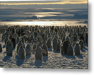 Emperor Penguin Aptenodytes Forsteri Metal Print by Pete Oxford