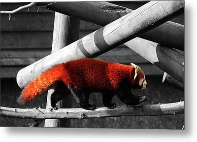 Red Panda Metal Print by Martin Newman