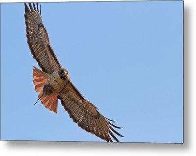 Red-tailed Hawk  Metal Print by Carl Jackson