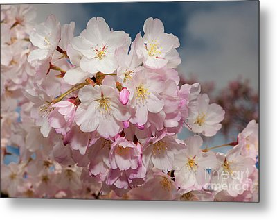 Silicon Valley Cherry Blossoms Metal Print