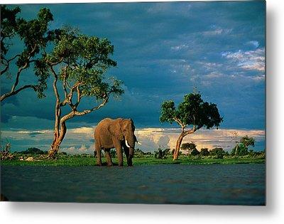 African Elephant Loxodonta Africana Metal Print by Beverly Joubert
