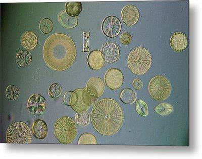 Close View Of Diatoms Metal Print by Darlyne A. Murawski