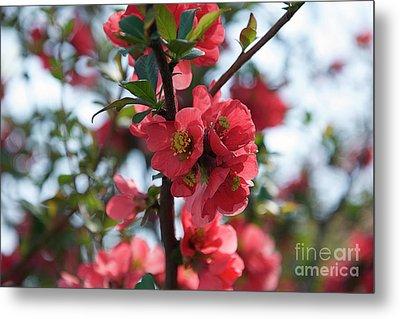 Tree Blossoms Metal Print by Elvira Ladocki