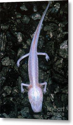 Austin Blind Salamander Metal Print by Dante Fenolio