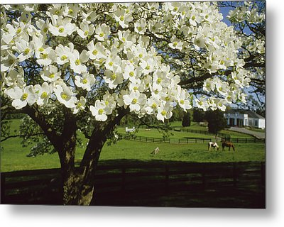 A Blossoming Dogwood Tree And Grazing Metal Print by Annie Griffiths