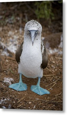 A Blue Footed Booby Looks At The Camera Metal Print by Stephen St John