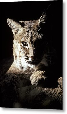 A Bobcat Sitting In A Ray Of Sun Metal Print by Jason Edwards