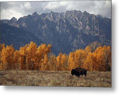 A Buffalo Grazing In Grand Teton Metal Print by Aaron Huey