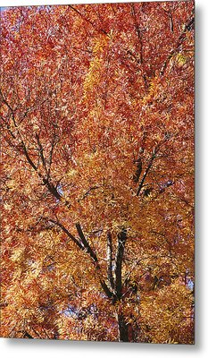 A Claret Ash Tree In Its Autumn Colors Metal Print by Jason Edwards