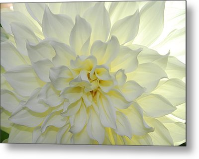 A Close Up Of A White Dahlia Flower Metal Print by Raul Touzon