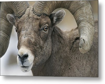 A Close View Of A Male Bighorn Sheep Metal Print by Tom Murphy