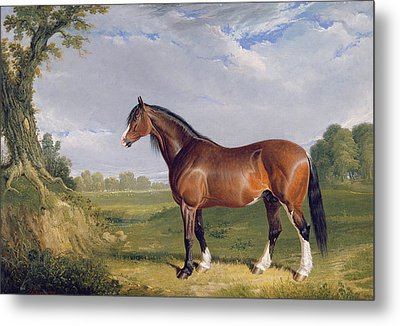A Clydesdale Stallion Metal Print by John Frederick Herring Snr