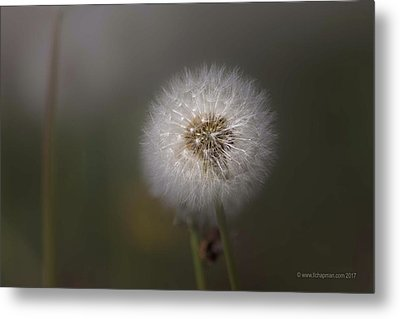 Metal Print featuring the photograph A Dandelion by Lora Lee Chapman