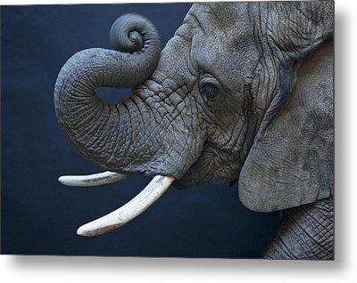 A Female African Elephant, Loxodonta Metal Print by Joel Sartore