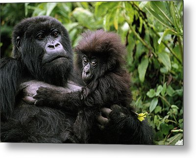A Female Mountain Gorilla And Her Child Metal Print by Michael Nichols