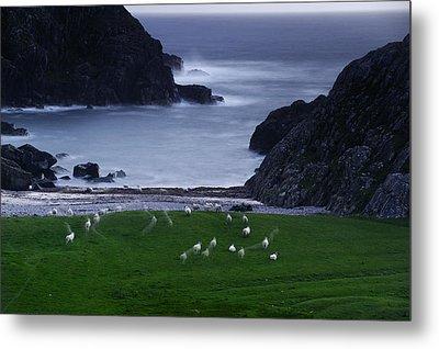 A Flock Of Sheep Graze On Seaweed Metal Print by Jim Richardson