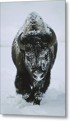 A Frost-covered American Bison Bull Metal Print by Tom Murphy
