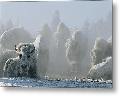 A Frost-covered Herd Of American Bison Metal Print by Tom Murphy
