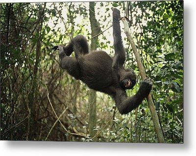 A Gorilla Swinging From A Vine Metal Print by Michael Nichols