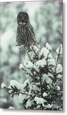 A Great Gray Owl Strix Nebulosa Perches Metal Print by Tom Murphy