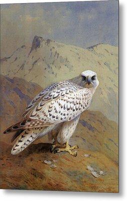 A Greenland Or Gyr Falcon Metal Print by Archibald Thorburn