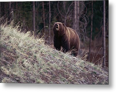 A Grizzly Bear Approaching The Crest Metal Print by Bobby Model