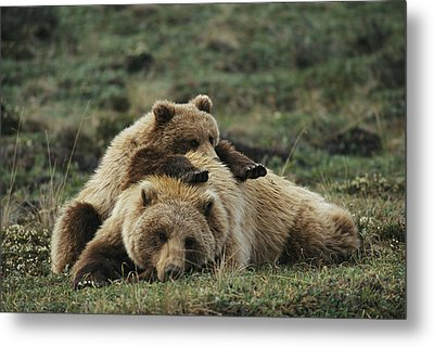 A Grizzly Bear Cub Stretches Metal Print by Michael S. Quinton