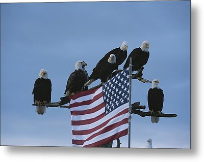 A Group Of Northern American Bald Metal Print by Norbert Rosing