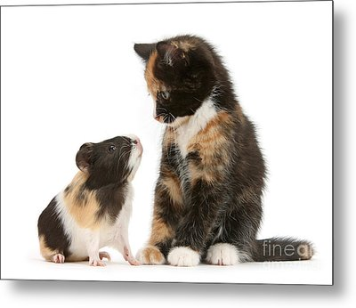 A Guinea For Your Thoughts Metal Print