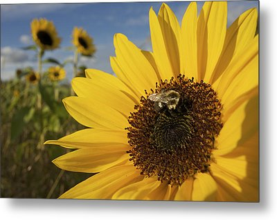 A Honey Bee Visiting A Sunflower Metal Print by Tim Laman