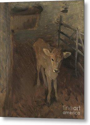 A Jersey Calf, 1893 Metal Print by John Singer Sargent