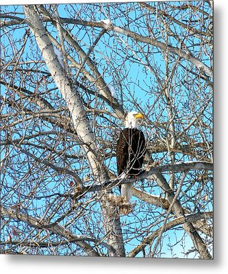 Metal Print featuring the photograph A Majestic Bald Eagle by Will Borden