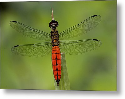 A Male Forest Chaser Dragonfly Rests Metal Print by Joe Petersburger