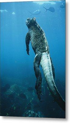 A Marine Iguana Swims Underwater Metal Print by Nick Caloyianis